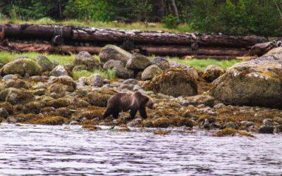 Bear watching in Canada